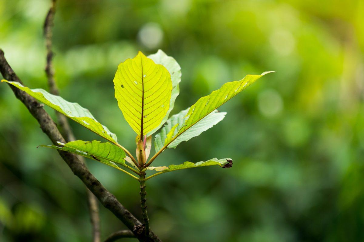 kratom branch leaves